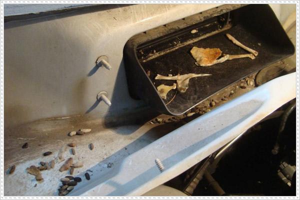 Chuột vào ô tô gây mất vệ sinh nghiêm trọng