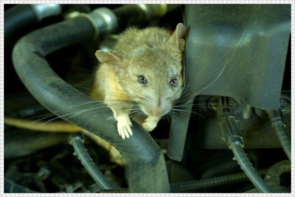 Đâu là dấu hiệu nhận biết chuột vào ô tô?